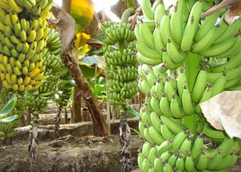 бананы в турции растут